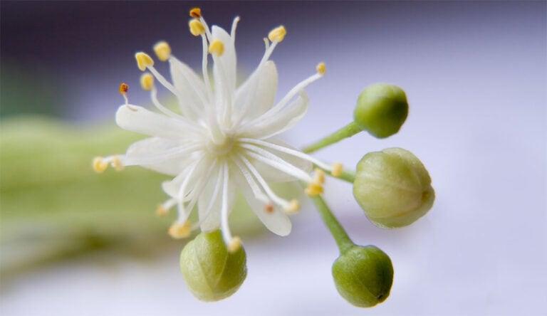 Lindenblüten mildert Husten