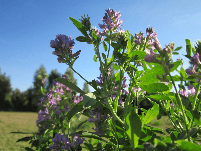 Alfalfa, auch Luzerne oder Schneckenklee genannt