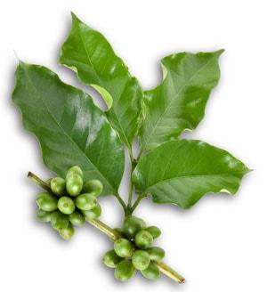 Grüne Kaffeebohnen aktivieren den Körper